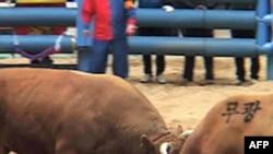 Những con bò húc đầu vào nhau, gài sừng vào nhau, và con nào thua thì sẽ quay đầu chạy trước