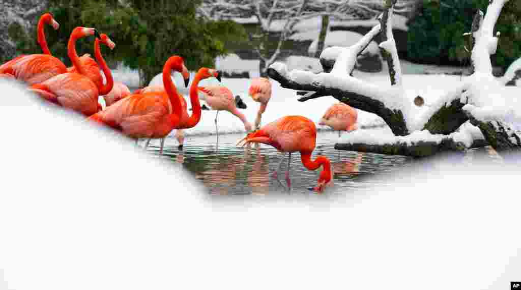 Flamingos stand in their snow-covered compound in the Hagenbeck Zoo in Hamburg, northern Germany. Meteorologists predict the unusual cold and snowy weather to continue in northeastern Germany.