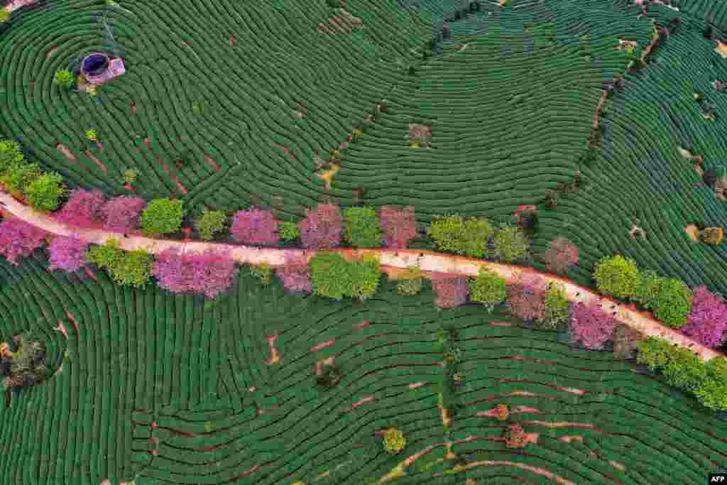 An aerial view of a tea field is seen in Zhangping in China's eastern Fujian province.