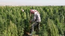 Lebanon's Marijuana Farmers