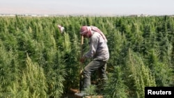 A man works in a field of cannabis in Lebanon's Bekaa Valley.