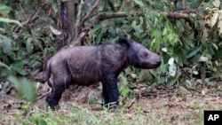 A newly-born Sumatran rhino calf is seen at Sumatran Rhino Sanctuary at in Way Kambas National Park in Lampung, Indonesia, Monday, June 25, 2012. It is only the fifth known birth in captivity for the species in 123 years. (AP Photo)