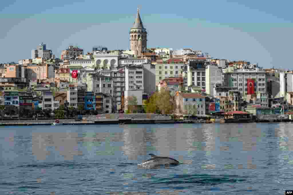 A dolphin swims in the Bosphorus where sea traffic has nearly come to a halt as the city of 16 million has been under lockdown to stem the spread of the Covid-19 pandemic in Istanbul, Turkey.
