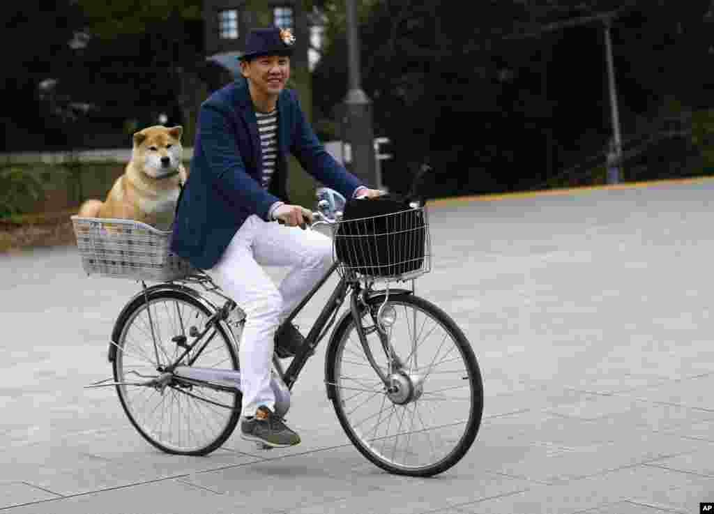 In this Wednesday, Dec. 23, 2015 photo, Shinjiro Ono rides a bicycle with his Shiba Inu Maru at Ueno Park in Tokyo. This bundle of fun and fur is a 7-year-old Shiba Inu who has been top dog on Instagram for several years. Ono believes his dog's round face