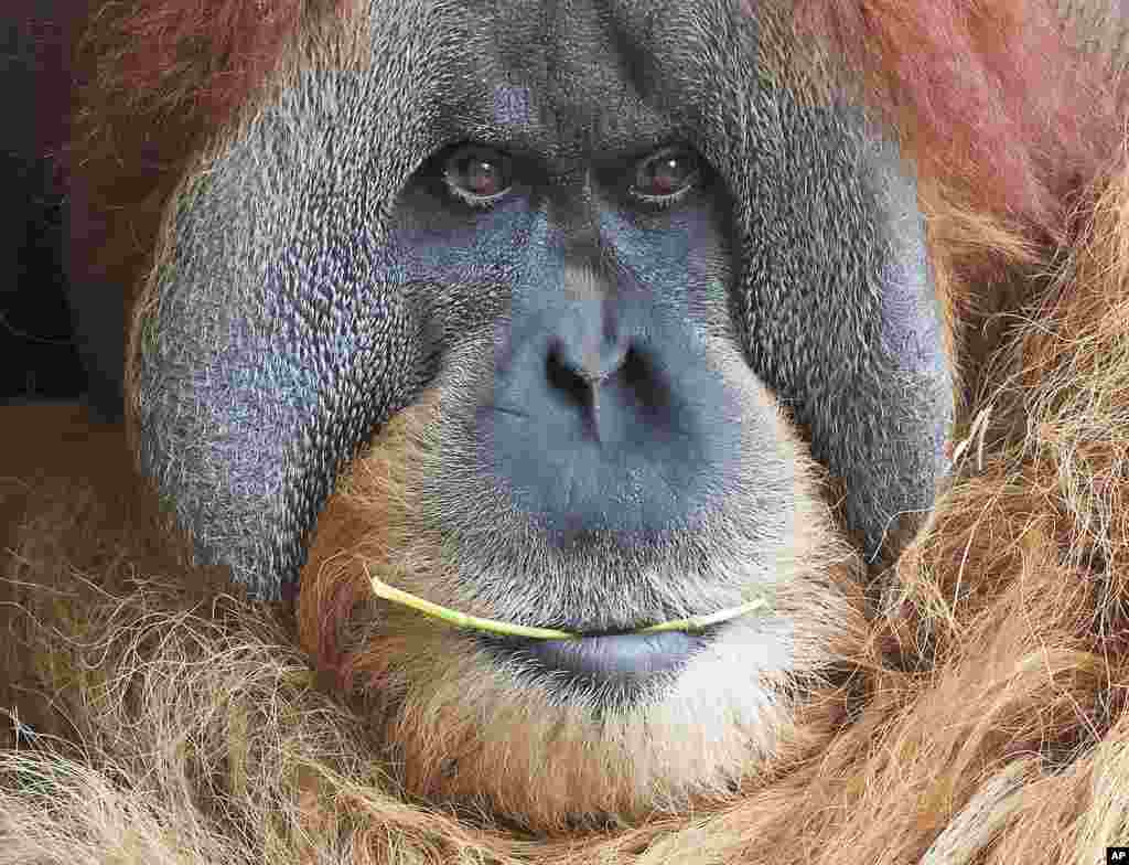 Orangutan Bimbo chews a stick as it relaxes at the Zoo in Leipzig, Germany.