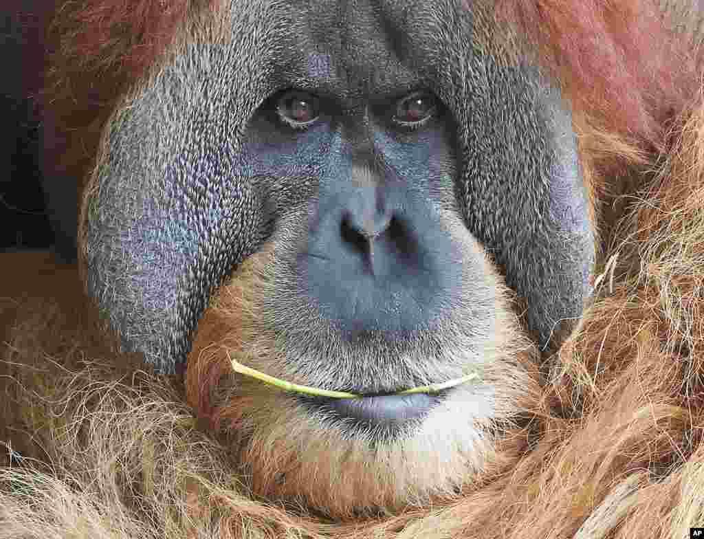 Seekor orangutan bernama Bimbo beristirahat di kebun binatang Leipzig, Jerman.