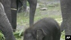 นักวิจัยเชื่อว่าช้างเรียนรู้การทำงานร่วมกันได้อย่างรวดเร็วในระดับเดียวกับสัตว์ฉลาดสายพันธุ์อื่น