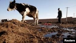 內蒙呼和浩特郊外一名牧民看養著自己的奶牛。 (資料照)