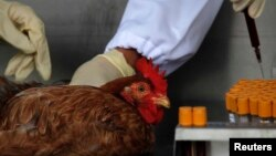 Officials from the Center for Food Safety get a blood sample from a chicken imported from mainland China at a border checkpoint in Hong Kong, April 11, 2013.