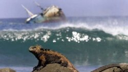 A marine iguana sunbathes on rocks of San Cristobal Island in the Galapagos Archipelago. The strange animals of the Galapagos made Darwin wonder about how species develop and change.