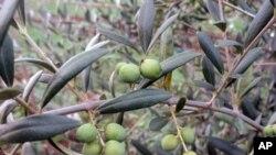 Маслинови насади успеваат во снежниот Орегон