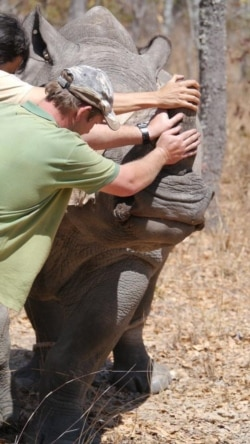 Interview with Linda Marabini of Operations of Aware Trust In Zimbabwe on Dehorning Rhinos