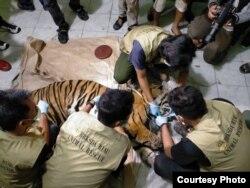 Petugas dari BBKSDA Riau melakukan nekropsi bangkai harimau Sumatra yang mati karena terkena jerat, Senin 18 Mei 2020. (Courtesy: BBKSDA Riau)