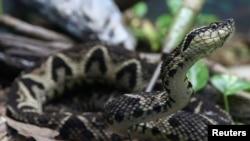 A jararacussu snake, whose venom is used in a study against the coronavirus disease (COVID-19), is seen at Butantan Institute in Sao Paulo, Brazil August 27, 2021. REUTERS/Carla Carniel/File Photo