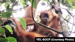 Orangutan Tapanuli (Pongo Tapanuliensis). (Foto: YEL-SOCP).