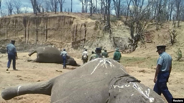 A group of elephants, believed to have been killed by poachers, lie dead at a watering hole in Zimbabwe's Hwange National Park. Picture taken Oct. 26, 2015.