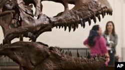 El esqueleto del Tiranosaurior Rex fue descubierto en Montana y será exhibido en el Museo de Historia Natural, Smithsonian, en Washington.