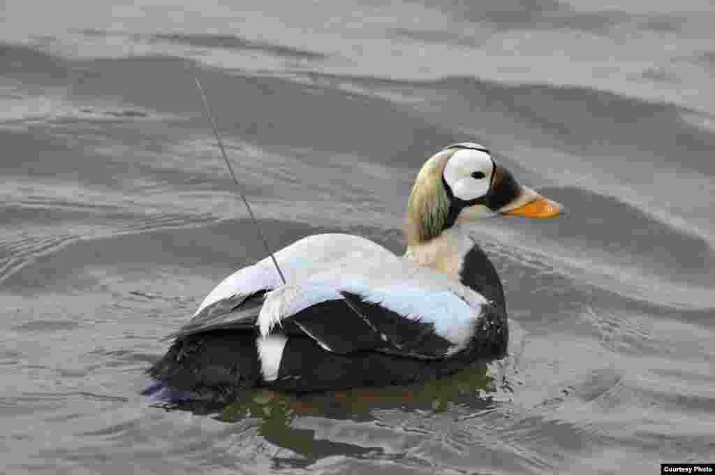 Broj primjeraka jedne vrste divlje guske opao je za 96 posto u njezinom primarnom području razmnožavanja, na Aljasci, zbog povlačenja leda i povišenja temperatura. Ta je vrsta već ubrojena među ugrožene. (USGS)