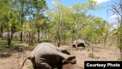 Caça furtiva em Moçambique: elefantes mortos devido ao seu valioso marfim