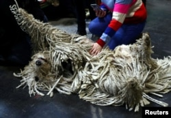 A Komondor relaxes during the second day of the Crufts Dog Show in Birmingham, Britain, March 8, 2019.