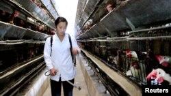 북한 황해북도 사리원의 양계장에서 한 여성이 조류 독감 예방을 위한 살균제를 살포하고 있다. (자료사진)