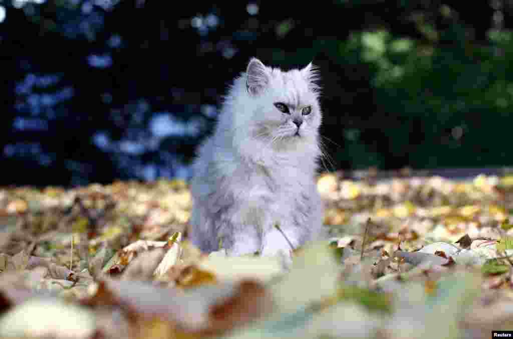 این گربه هم که از نشستن بر روی برگهای پائیزی در یک روز آفتابی در شهر وین پایتخت اتریش لذت می برد.
