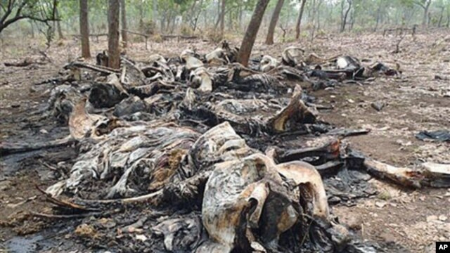 The carcasses of elephants slaughtered by poachers are seen in Boubou Ndjida National Park, Cameroon, February 2012.