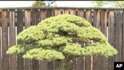 Bonsai koji je preživio napad na Hiroshimu