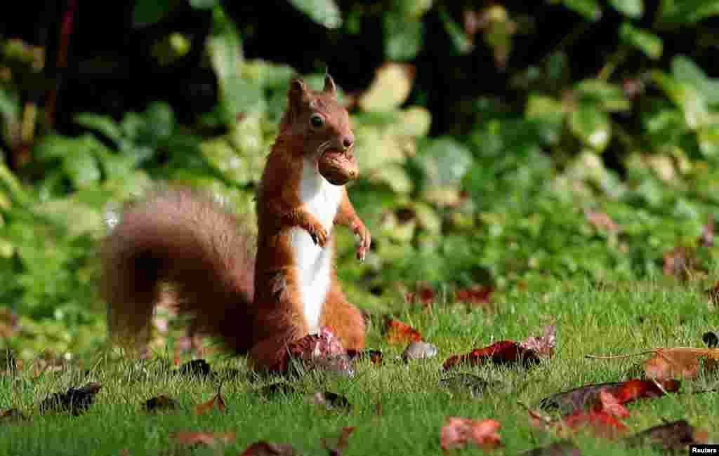 A red squirrel eats a walnut in Pitlochry, Scotland, Britain, Oct. 8, 2019.