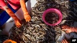 Tư Liệu - Những người nữ công nhân đang phân loại tôm tại một chợ hải sản thuộc Mahachai, Thái Lan, ngày 30 tháng 09 năm 2015.