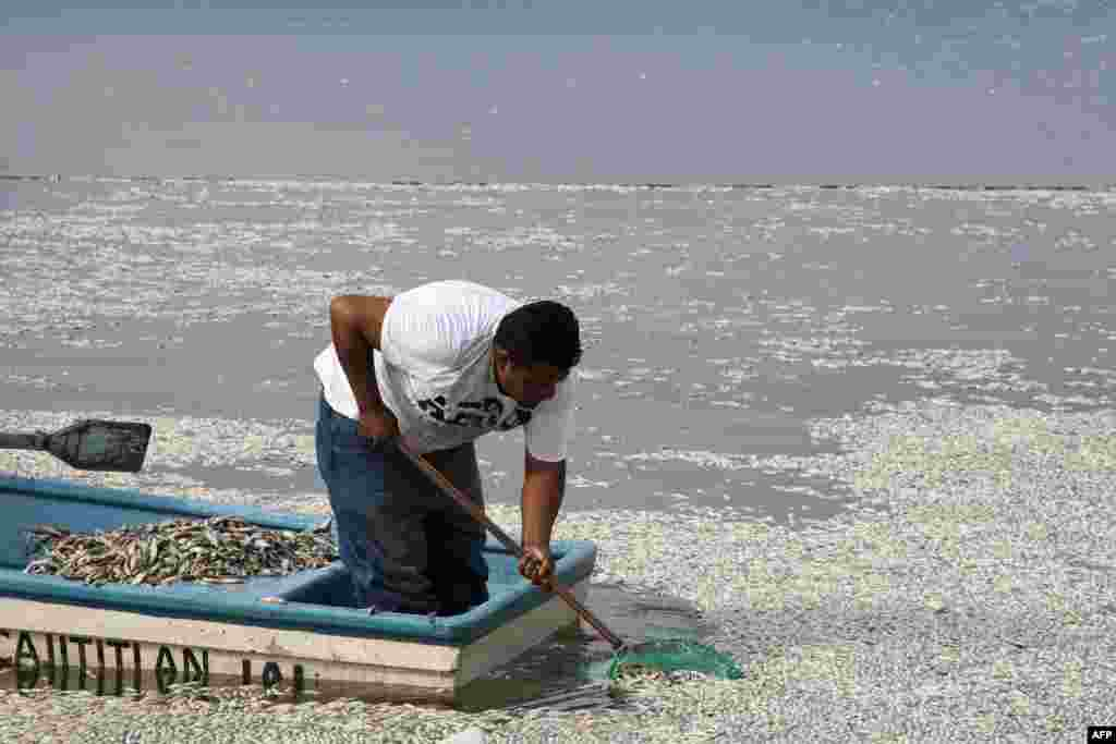 "A fisherman collects dead ""popocha"" fish at the lagoon of Cajititlan in Tlajomulco de Zuniga, Jalisco State, Mexico. At least 48 tons of fish have turned up dead in the lagoon in western part of the country and authorities are investigating whether a wastewater treatment plant is to blame."