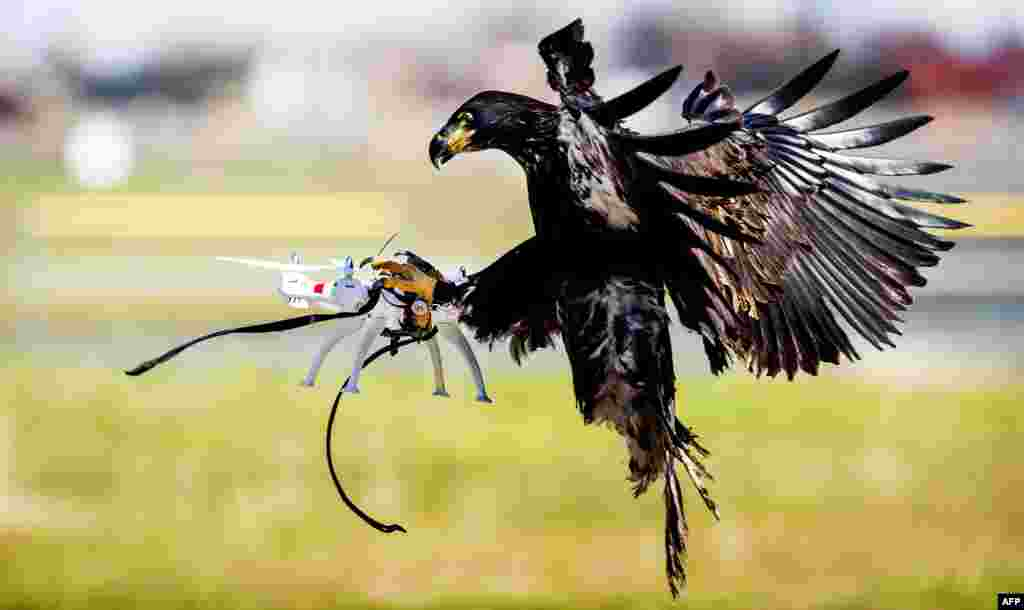 An eagle of the Guard from Above company grasps a drone during a police exercise in Katwijk, the Netherlands.