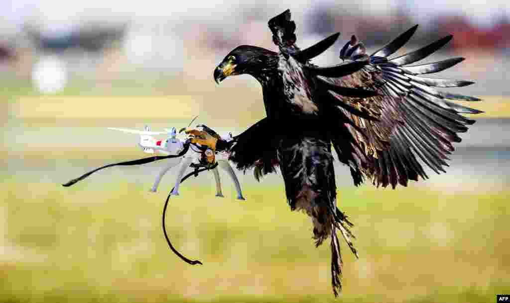 Seekor elang dari perusahaan 'Guard from Above' menangkap sebuah pesawat nirawak (drone) saat latihan tim kepolisian di kota Katwijk, Belanda.