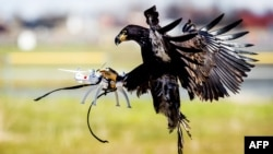 An eagle of the Guard from Above company, grasps a drone during a police exercise in Katwijk, on March 7, 2016. The bird of prey can get drones from the air by catching them with his legs.