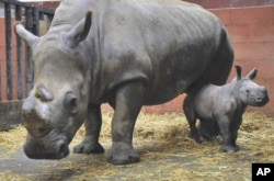 Rhinos in a zoo in France