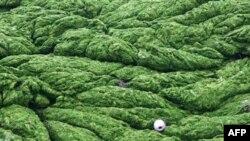 Alge bi mogle da budu jedan od pogona američke privrede