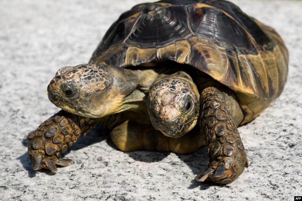 스위스 제네바 자연사박물관의 두 머리 거북 '야누스'가 20세 생일을 맞아 기념사진을 찍고 있다.