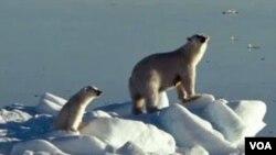 Osos polares se ven en riesgo alimenticio por cambios climáticos.