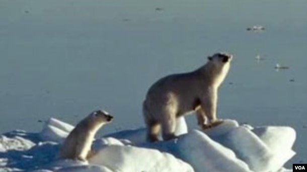 Polar bears are in trouble. Scientists say only 20,000 remain, and their long-term survival could be at risk