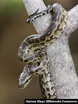African Rock Python - Python sebae natalensis