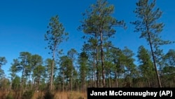 Longleaf pines, about 80 to 85 years old, stand tall in the DeSoto National Forest in Miss., on Wednesday, Nov. 18, 2020.
