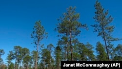 FILE - Longleaf pines, about 80 to 85 years old, stand tall in the DeSoto National Forest in Miss., on Wednesday, Nov. 18, 2020. (AP Photo/Janet McConnaughey)
