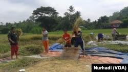 Santri Pondok Pesantren MBS membantu petani bekerja di sawah (Foto: VOA/Nurhadi)