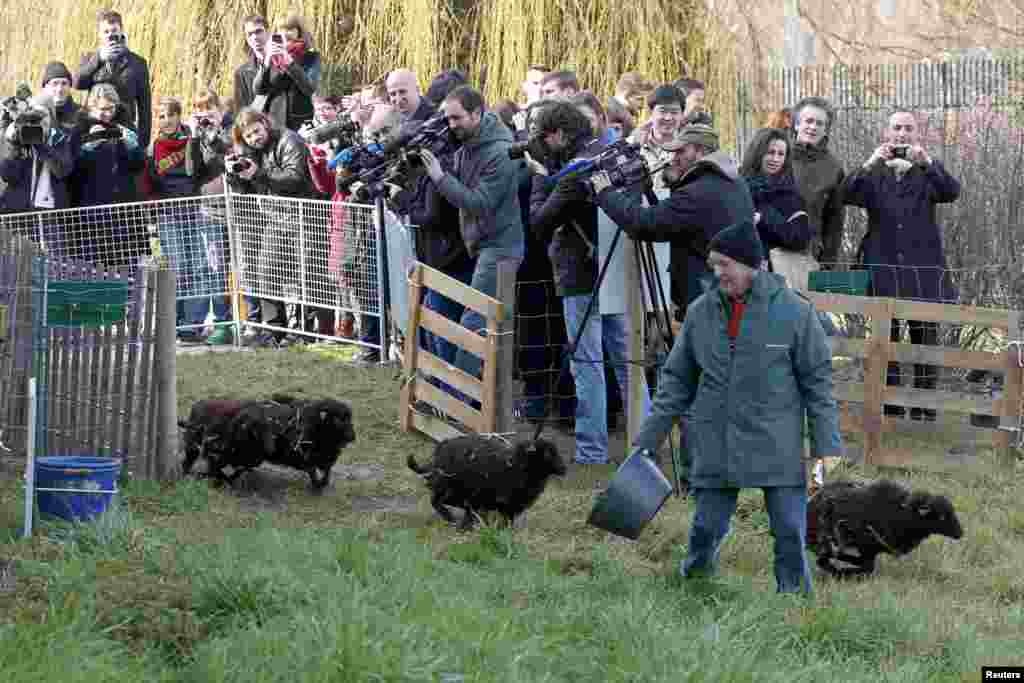 Journalists shoot the arrival of four sheep for the launching of an 'eco-grazing' experiment with a group of Ouessant sheep in a 2000m² green space owned by the French capital's archives service, in the 19th district in Paris. The goal of the experiment is for sheep to graze at intervals until autumn on the parcel of land and to maintain it without weed-killers.