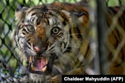 Harimau Sumatera yang siap dilepasliarkan di ekosistem hutan Leuser di Provinsi Aceh, 19 Juni 2020. (Foto: Chaideer Mahyuddin/AFP)