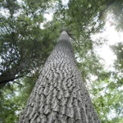 A white pine tree in Bradford, New Hampshire