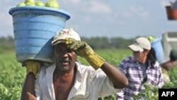 Мигранты на сборе овощей в Алабаме