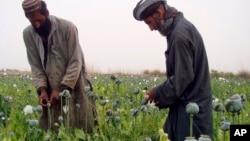 Para petani Afghan memanen candu atau opium di desa Bawri, luar Lashkar Gah, Helmand, Afghanistan selatan, April 2013. (AP/Abdul Khaleq)