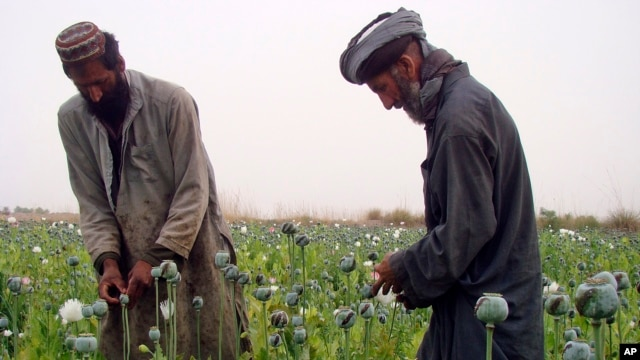 Afghan farmers harvest raw opium on a poppy field in the village of Bawri, outside of Lashkar Gah, Helmand, southern Afghanistan, April 13, 2013.