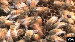 """Proyek """"pelacak lebah,"""" yang didirikan pakar lebah May Berenbaum, ditujukan untuk mengatasi """"gangguan pemusnahan terhadap koloni lebah madu""""."""